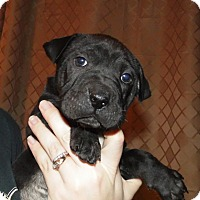 Adopt A Pet :: 3 female shar pei mixes - mooresville, IN