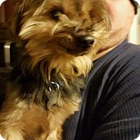 Adopt A Pet :: Carrot - DAYTON, OH