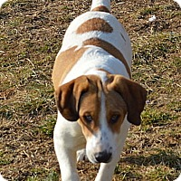 Treeing Walker Coonhound Mix Puppy for adoption in Lancaster, Kentucky - Doc