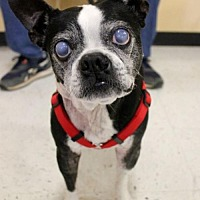 Boston Terrier Dog for adoption in Various Cities in the entire Southeast, Tennessee - Happy Gilmore KY