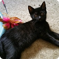 Domestic Shorthair Kitten for adoption in Philadelphia, Pennsylvania - Lilac