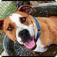 Adopt A Pet :: Cowboy - Johnson City, TX