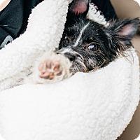 Adopt A Pet :: Suki - Los Angeles, CA