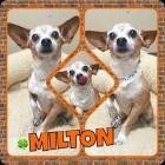 Chihuahua Dog for adoption in Scottsdale, Arizona - Milton