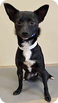 Terrier (Unknown Type, Medium) Mix Dog for adoption in Oswego, Illinois - Caleb