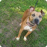 Pit Bull Terrier/American Pit Bull Terrier Mix Dog for adoption in Marion, Indiana - PANDORA