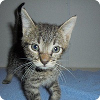 Domestic Shorthair Kitten for adoption in Springfield, Tennessee - Nick