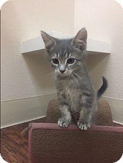 Domestic Shorthair Kitten for adoption in Dublin, California - Sheila