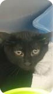 Domestic Shorthair Kitten for adoption in Paducah, Kentucky - Tiger