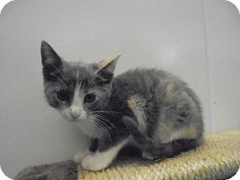 Domestic Shorthair Kitten for adoption in Springfield, Tennessee - Abbie