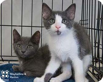 Domestic Shorthair Kitten for adoption in Merrifield, Virginia - Revlon