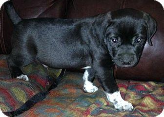 American Bulldog/Labrador Retriever Mix Puppy for adoption in Boston, Massachusetts - Zack