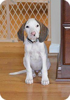 Hound (Unknown Type) Mix Puppy for adoption in Rockville, Maryland - Baby Katie