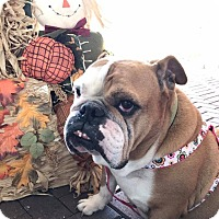 English Bulldog Dog for adoption in Odessa, Florida - Cassie
