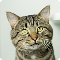 Domestic Shorthair Cat for adoption in Columbia, Illinois - Freddy