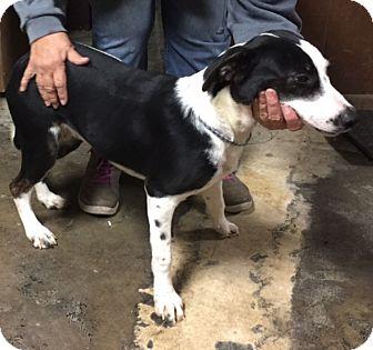 Border Collie/Labrador Retriever Mix Dog for adoption in Southington, Connecticut - Stevie
