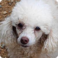 Poodle (Miniature) Dog for adoption in Spartanburg, South Carolina - Bridgett- I'm going to NY!