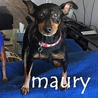 Adopt A Pet :: Maury - Scottsdale, AZ