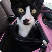 Adopt A Pet :: BLACK & WHITE KITTENS - Ocala, FL