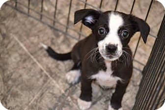 Chihuahua Mix Puppy for adoption in Albemarle, North Carolina - Veil