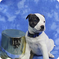 Adopt A Pet :: TABITHA - Westminster, CO