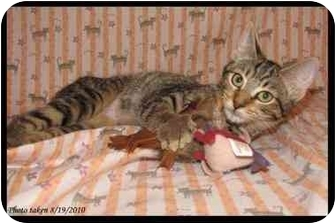 Domestic Shorthair Kitten for adoption in Orlando, Florida - Teva