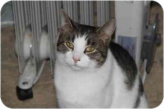 Domestic Shorthair Cat for adoption in Berkeley Hts, New Jersey - Sasha