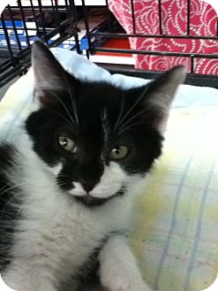 Domestic Mediumhair Kitten for adoption in Riverside, Rhode Island - Andre