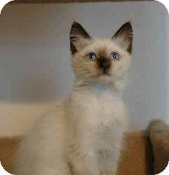Siamese Cat for adoption in Sacramento, California - Panda