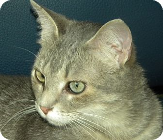 Domestic Shorthair Cat for adoption in Green Bay, Wisconsin - Toby