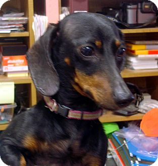 Dachshund Dog for adoption in baltimore, Maryland - Cletus