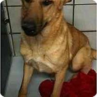 Adopt A Pet :: Sienna - Arlington, TX