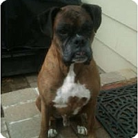 Adopt A Pet :: Diesel - LOVE BUG - Grafton, MA