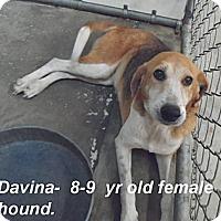 Adopt A Pet :: Davina - Newport, VT