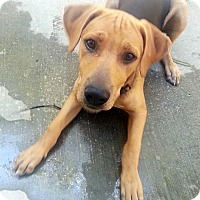 Adopt A Pet :: Charlie Brown-VIDEO,Courtesy L - Monrovia, CA