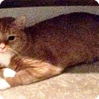 Domestic Mediumhair Cat for adoption in Baltimore, Maryland - Puffy