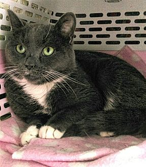 Domestic Shorthair Cat for adoption in Acushnet, Massachusetts - Ashley