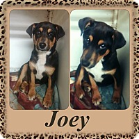 Adopt A Pet :: Joey Adoption pending - East Hartford, CT