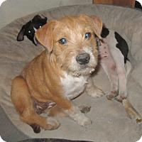 Adopt A Pet :: Pumpkin - Copperas Cove, TX