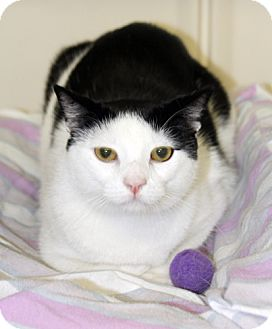 Domestic Shorthair Cat for adoption in Harrison, New York - Willy