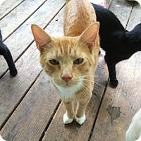 Adopt A Pet :: Bootsie - Corinth, NY
