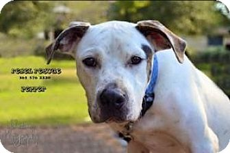 Catahoula Leopard Dog Dog for adoption in Victoria, Texas - Pepper