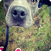 Adopt A Pet :: Bitsy - Hainesville, IL