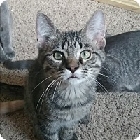 Domestic Shorthair Kitten for adoption in Cedar Springs, Michigan - Gus Gus