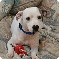 Hound (Unknown Type)/Dalmatian Mix Dog for adoption in Jacksonville, Florida - Daisy Duke