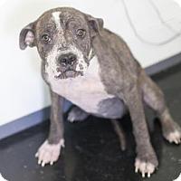 Adopt A Pet :: Maggie Piper - Bedford, IN