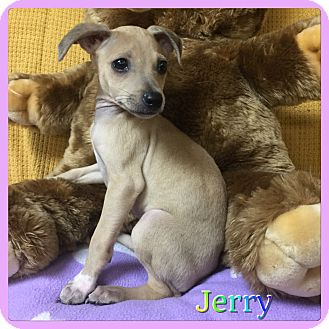 Chihuahua/Miniature Pinscher Mix Puppy for adoption in Hollywood, Florida - Jerry