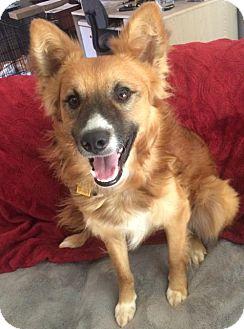 Sheltie, Shetland Sheepdog/Curly-Coated Retriever Mix Dog for adoption in Marietta, Georgia - Bruno Adoption Pending Congrats Mason Family!