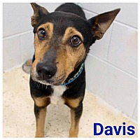 Manchester Terrier Mix Dog for adoption in Garden City, Michigan - Davis
