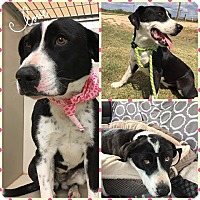 Adopt A Pet :: Lily - Snyder, TX